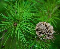 Бизнес на сосновых иголках и производстве хвойно-витаминной муки
