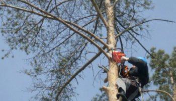 Если большое дерево мешает вам на вашем участке — можно ли его убрать