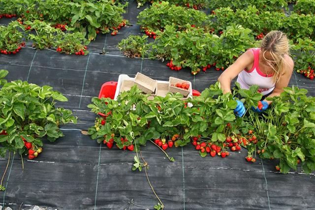Использование агроволокна для защиты клубники от сорняков