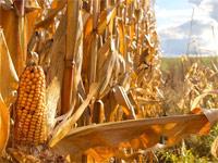 Производство строительных плит из кукурузной соломы